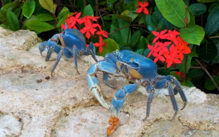 blue-crab-season-in-cancun