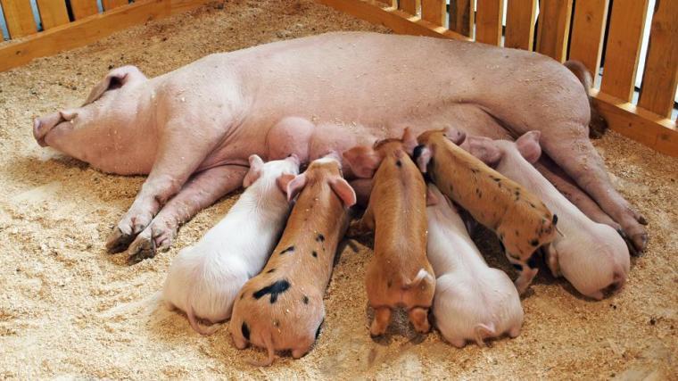 pig-babies-feeding.adapt.945.1