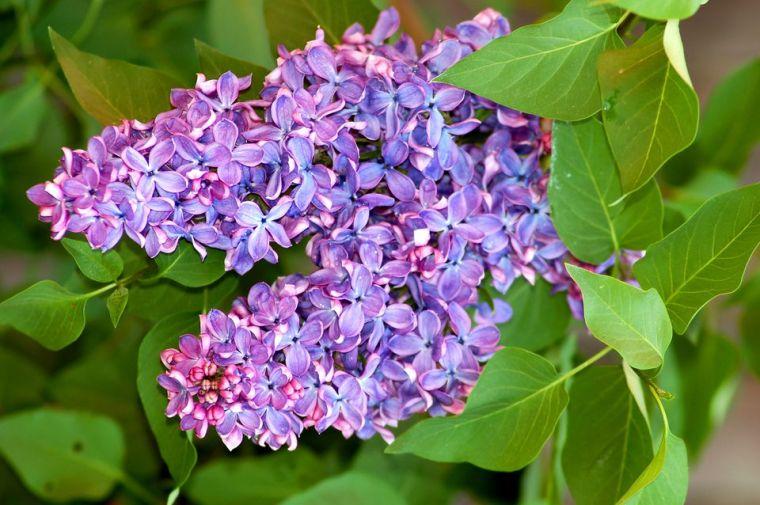 purple-lilac-big-56a582865f9b58b7d0dd3a97