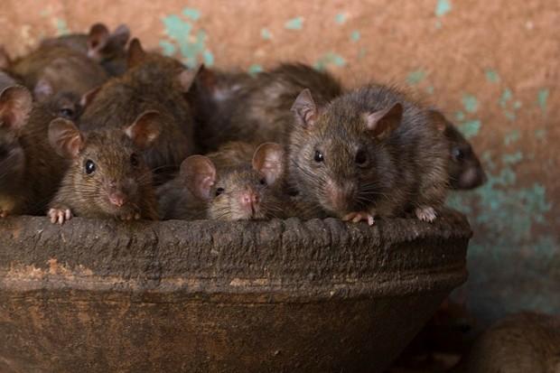 Brown-rats_623-befb23d