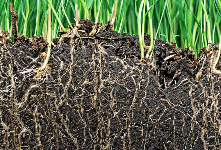 How-plant-roots-know-to-follow-gravity