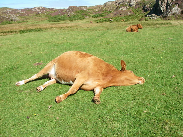 Lazy_Cow_-_geograph.org.uk_-_580417