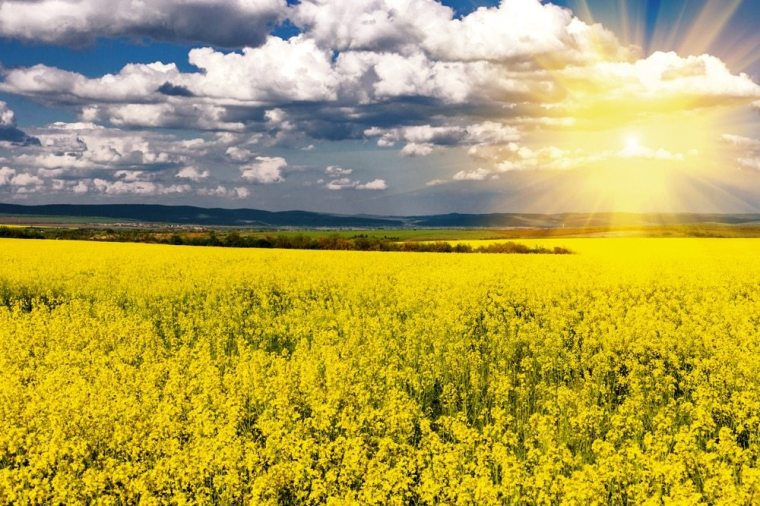 canola-field-sun-493284199-thinkstock